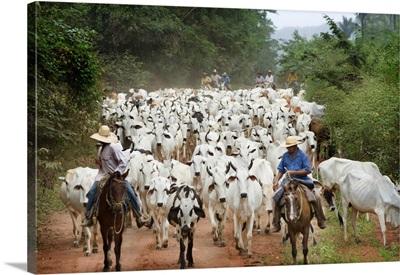 Brazil, Mato Grosso, Pantanal, Cattle