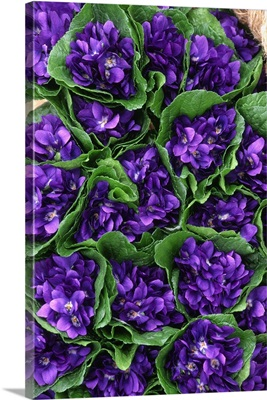 Bunches of Violet