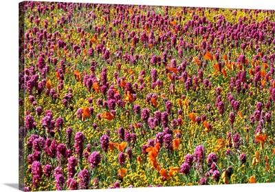 California, Antelope valley, wild flowers in spring