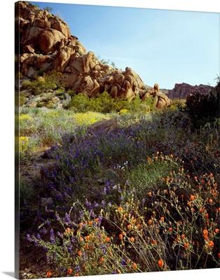 California, Joshua Tree National Park, Mohave Desert, Desert wildflowers
