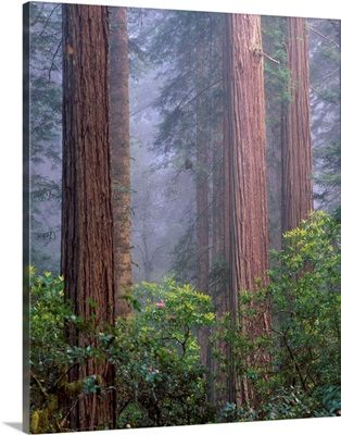 California, Redwoods National Park, Rhododendrons growing among Redwood trees