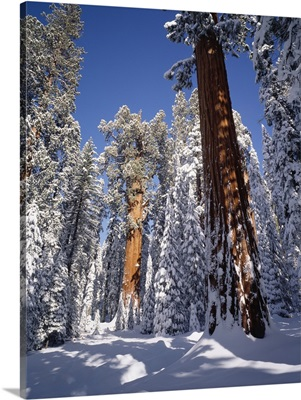 California, Sequoia National Park, General Sherman tree covered in fresh snow