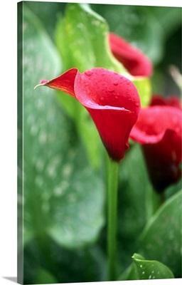 Calla Lily (Zantedeschia Mango)