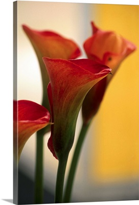 Calla Lily (Zantedeschia Pink Persuasion)