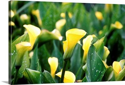 Calla Lily (Zantedeschia Sunshine)