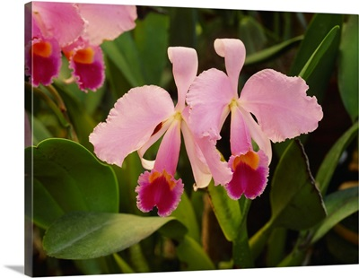 Central America, Costa Rica, Orchid (Cattleya Triana)