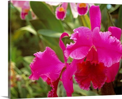 Central America, Costa Rica, Orchid (rothschildiana)