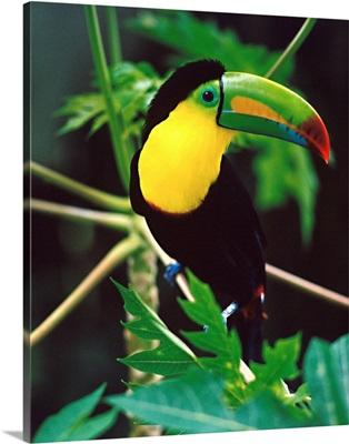 Central America, Costa Rica, Toucan