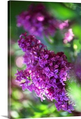 Chinese lilac (Syringa Chinensis)