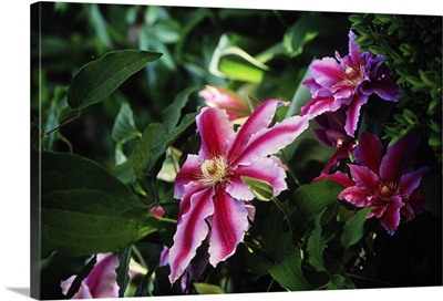 Clematis Licoln Star