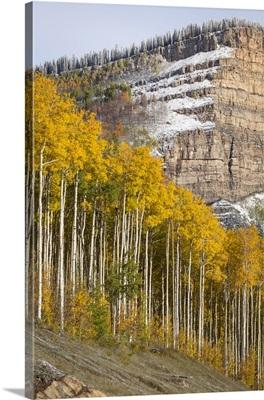 Colorado, Birch trees in fall colors