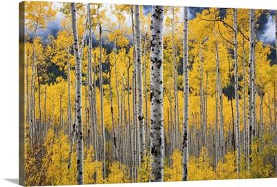 Colorado, Birch trees in fall colors, near Aspen