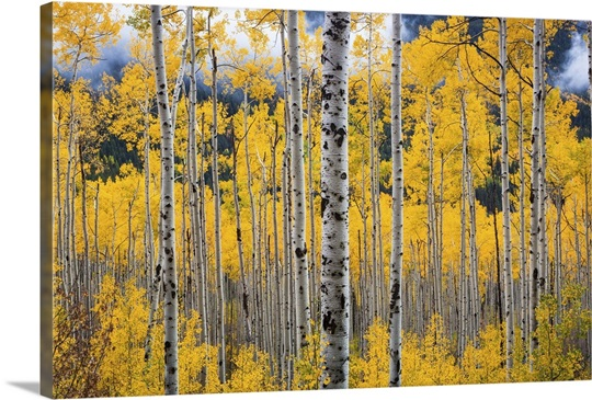 colorado birch trees in fall colors near aspen wall art canvas
