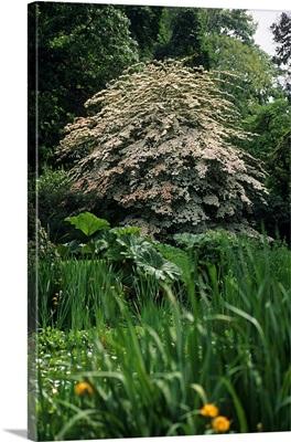 Cornus Kousa Grandiflora