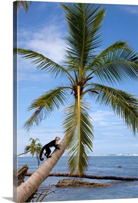 Costa Rica, Limon, Tropics, Cahuita National Park, Capuchin monkey in palm tree