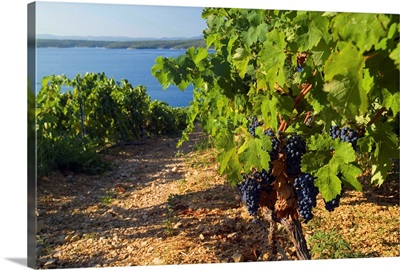 Croatia, Dalmatia, Hvar island, Plavac Mali grapes at Zavala, near Sveta Nedjelja