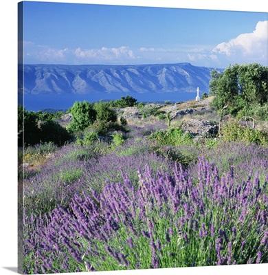 Croatia, Dalmatia, Hvar Island, Typical lavender fields towards Brac island