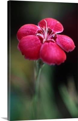 Dianthus Allwood