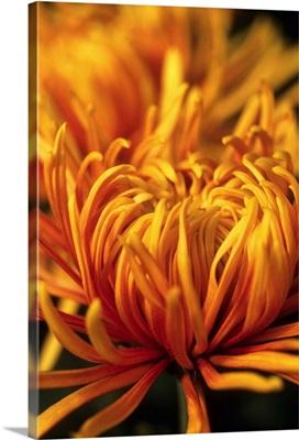 Dilane Spider Chrysanthemum