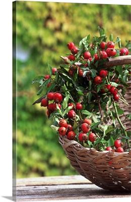Dog rose (rosa canina), fruits
