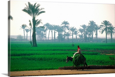 Egypt, North Africa, Man riding on donkey