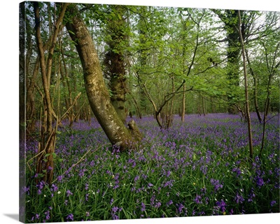 England, Bluebell flowers in forest