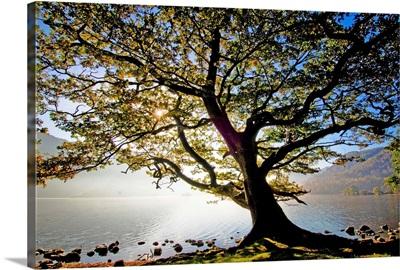 England, Cumbria, Great Britain, Lake District, Oak tree