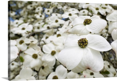 England, Magnolias at Kew Gardens