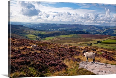 England, West Yorkshire, Sheep standing amongst the rocks & heather in the Peak District