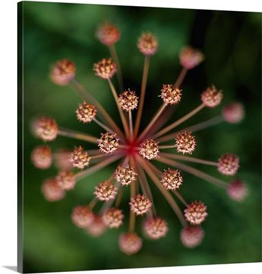 Flower of Umbelliferae family