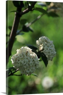 Fragrant Snowball, Viburnum carlesii
