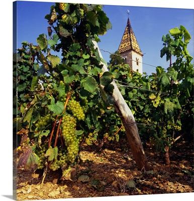 France, Burgundy, Vineyard