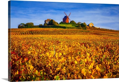 France, Champagne-Ardenne, Champagne, Marne, Verzenay, Vineyards And Windmill In Autumn