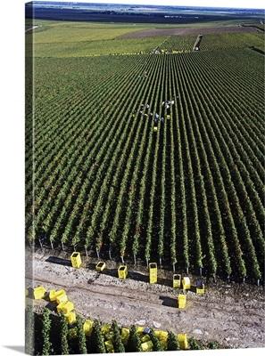 France, Champagne-Ardenne, Marne, Verzenay, Grape harvest