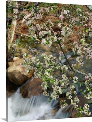 France, Corsica, Les Calanques, spring blossom