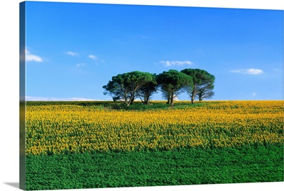 France, Midi-Pyrenees, Gers, sunflower field