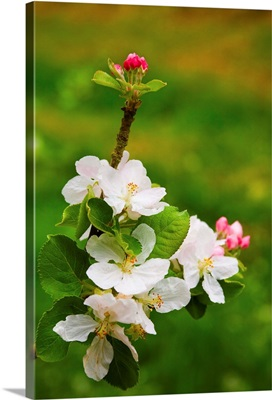 France, Normandy, Apple tree blossoms