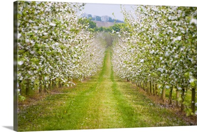 France, Normandy, Apple trees in full blossom in the orchard