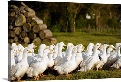 France, Pays de la Loire, Vendee, Challans, Challans ducks