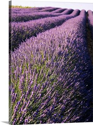 France, Provence-Alpes-Cote d'Azur, Lavender