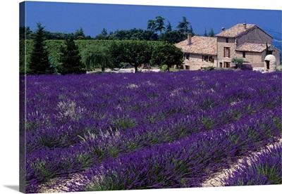 France, Provence-Alpes-Cote d'Azur, Mont Ventoux, lavender field
