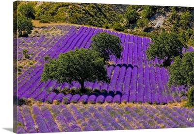 France, Provence-Alpes-Cote d'Azur, Provence, Lavender field