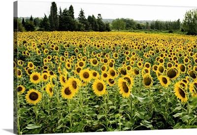 France, Provence-Alpes-Cote d'Azur, Provence, Summer Sunflower fields