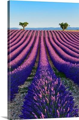 France, Provence-Alpes-Cote d'Azur, Provence, Valensole, Lavender Fields Near Valensole