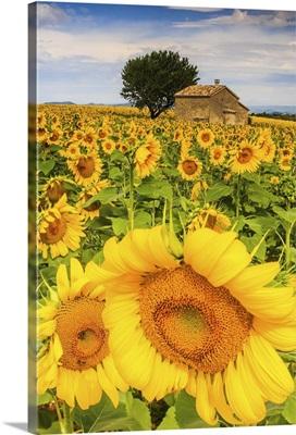 France, Provence-Alpes-Cote d'Azur, Provence, Valensole, Sunflower field near Valensole