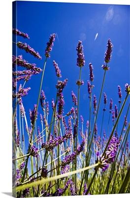 France, Provence-Alpes-Cote d'Azur, Provence, Vaucluse, Lavender fields