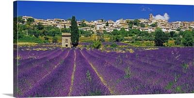 France, Provence-Alpes-Cote d'Azur, Puimoisson, Lavender field