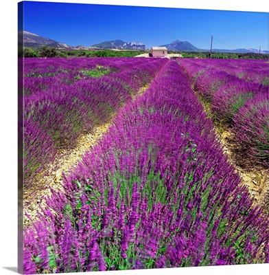 France, Provence-Alpes-Cote d'Azur, Saint-Jurs, Lavender fields