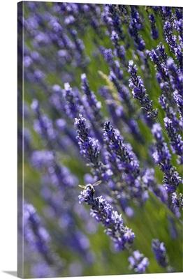 France, Provence-Alpes-Cote d'Azur, Sault, Lavender