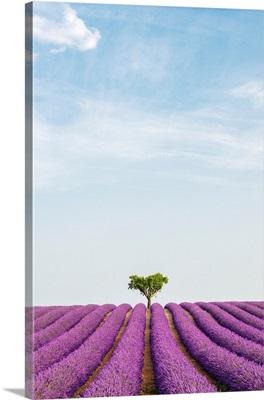 France, Provence-Alpes-Cote d'Azur, Valensole, Lavender Field On The Plateau